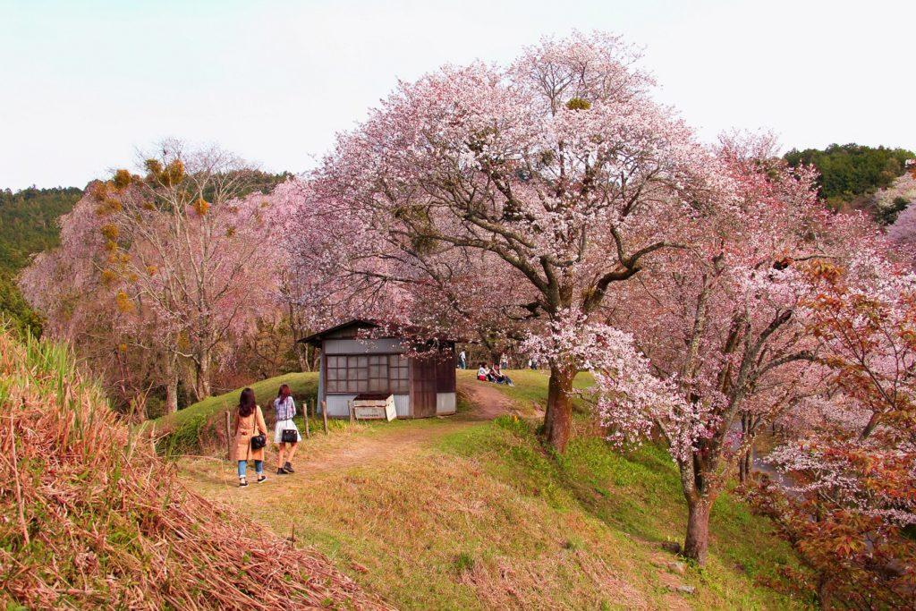 Época de cerezos en Japón