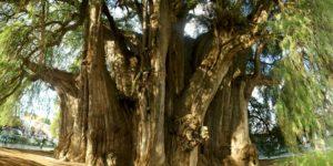 Árbol de Tule en Oaxaca.